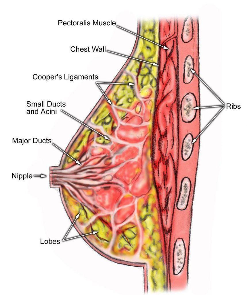 آناتومی کلی پستان